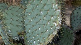 Prickly cactus infested with scale insects Stock Photo