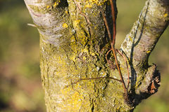 Closeup of dying tree with lichens Royalty Free Stock Photography