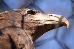 Closeup of Eagle Royalty Free Stock Photography