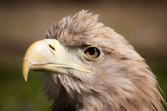 Closeup eagle head Stock Photography