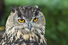 Closeup from an eagle Owl. Stock Photo