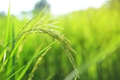 Closeup ear of paddy, Golden Rice Field royalty free stock photography