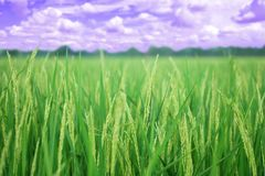 Closeup ear of paddy, Golden Rice Field, with sky and clouds royalty free stock photos