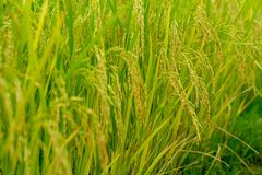 Closeup ear of paddy, jasmine rice, in the field. Closeup selective focus picture of ear of paddy, jasmine rice, in the field stock image