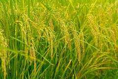 Closeup ear of paddy, jasmine rice, in the field. Closeup selective focus picture of ear of paddy, jasmine rice, in the field royalty free stock image