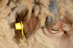 Closeup on the ear tag of a sheep. The markof the beast royalty free stock photos