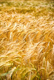 Closeup of ears of golden wheat Stock Image
