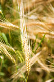 Closeup of ears of golden wheat Royalty Free Stock Image