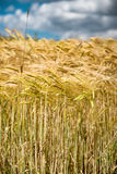 Closeup of ears of golden wheat Royalty Free Stock Photography