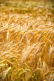 Closeup of ears of golden wheat Royalty Free Stock Photo