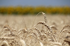 Closeup ears of wheat against sunflower line. Closeup of ripe wheat ears ready for harvest against sunflower line out of focus stock images