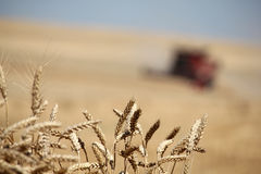 Closeup ears of wheat with combine harvester. Closeup ears of wheat at field with combine harvester on background out of focus royalty free stock photo