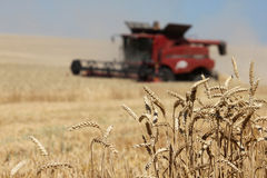 Closeup ears of wheat with red combine harvester. Closeup ears of wheat at field with red combine harvester on background out of focus stock photos
