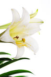 Easter Lily on White Royalty Free Stock Photography