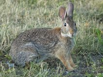 Closeup of a Eastern Cottontail Rabbit Royalty Free Stock Images