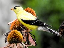 Closeup Eastern Gold Finch Atop a Coneflower Royalty Free Stock Photo