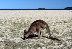 Closeup of Eastern Grey Kangaroo Stock Image