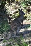 Closeup of Eastern Grey Kangaroo Stock Photo
