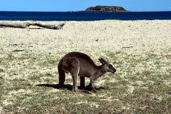 Closeup of Eastern Grey Kangaroo Stock Photography