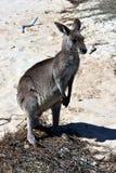 Closeup of Eastern Grey Kangaroo Royalty Free Stock Photo
