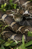 Closeup of an eastern milk snake Royalty Free Stock Image