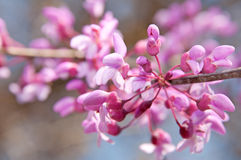 Closeup of Eastern Redbud flowers Royalty Free Stock Images