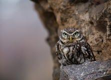 Closeup of an Eastern Screech Owl Royalty Free Stock Photos