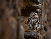 Closeup of an Eastern Screech Owl Royalty Free Stock Photography