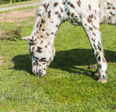 Closeup of an eating white horse with brown and black dots Royalty Free Stock Images
