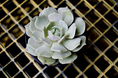 Echeveria Lola Succulent Plant. A closeup of an Echeveria Lola succulent plant stock photo