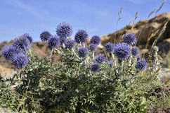 Closeup Echinops plant. Closeup blue globe thistle of Echinops genus, in the Meditarranean scrubland in Spain Stock Photos