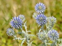 Closeup Echinops plant. Closeup globe thistle of Echinops genus, in the Meditarranean scrubland in France Stock Photo