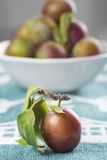 Closeup from ecological plums Stock Images