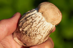 Closeup of edible mushroom in hand on green grass Stock Images