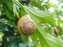 Closeup of edible snail with shell eating green leaf Royalty Free Stock Images