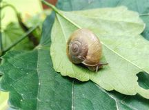 Closeup of edible snail with shell eating green leaf Royalty Free Stock Photography