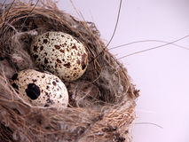 Closeup of eggs in nest Royalty Free Stock Images