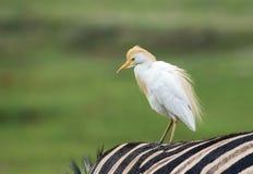 Closeup of Egret on zebra back Royalty Free Stock Photos