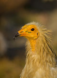 Portrait of an Egyptian Vulture Royalty Free Stock Photo