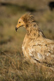 Portrait of an Egyptian Vulture Stock Photos