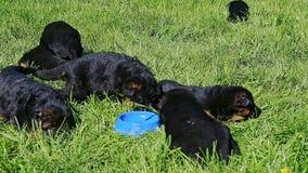 Closeup eight black german shepherd puppies walk in green grass