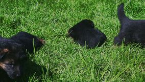 Closeup eight black small young german shepherd puppies play