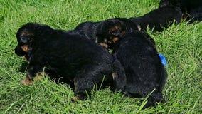 Closeup eight german shepherd puppies play in green grass