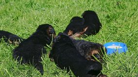 Closeup eight black small young german shepherd puppies rest