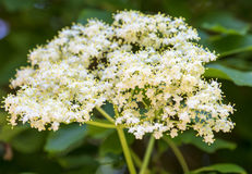 Closeup of Elder flower (Sambucus nigra) with short depth of field Royalty Free Stock Photography