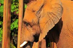 Closeup of an Elephant Royalty Free Stock Photos