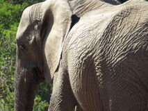 Closeup of an elephant. A closeup of an elephant in the Addo Elephant National Park, South Africa Stock Images