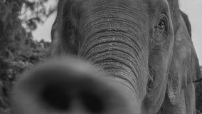 Closeup of an elephant. Black and white photo closeup of an elephant royalty free stock photography