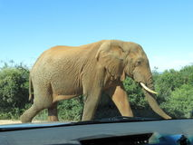 Closeup of an elephant from a car. An elephant walking on the road in the Addo Elephant National Park as seen through a cars windscreen Stock Images