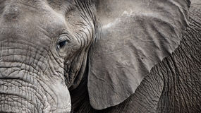Closeup Elephant face Royalty Free Stock Photo